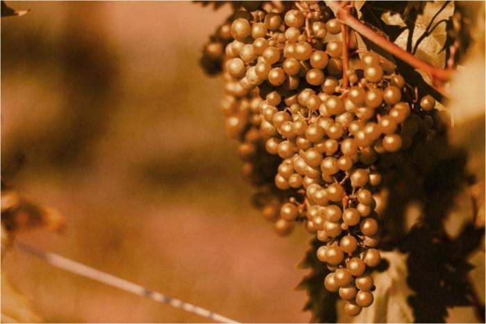 Vineyard Shoot Image
